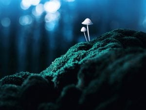 psilocybin, magic mushrooms, Psychedelic mushrooms