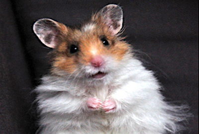 BREAKING NEWS about Syrian golden hamsters!